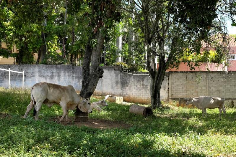 Urban ranching: A socialist commune's response to Venezuela's crisis